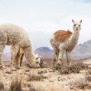 Baby-Alpaka Schal Traveller grau/schwarz 70x200cm