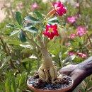 Baobab Chacal - Wüstenrose